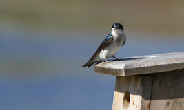 Tree swallow at nest Stock Photography