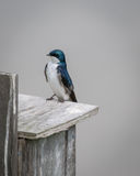 Tree swallow on perch Royalty Free Stock Photo