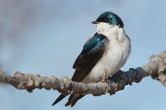 Tree Swallow Royalty Free Stock Photography