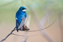 Tree Swallow Perched On Branch Stock Photo