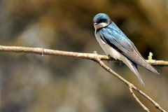 Tree Swallow Perched on a Branch Royalty Free Stock Photo