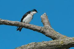 Tree Swallow. Perched in a dead tree looking into a broken branch. Ashbridges Bay Park, Toronto, Ontario, Canada Stock Images