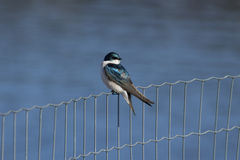 Tree Swallow Perched on a Fence Royalty Free Stock Photos