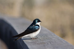 Tree Swallow Perched on a Fence Rail Royalty Free Stock Photos