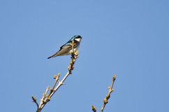 Tree Swallow Perched in a Tree Stock Image