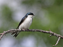 Tree Swallow Profile Royalty Free Stock Photography