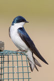 Tree Swallow. Resting outside a nesting box Stock Photography