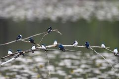 The Tree swallow s are flocking together on the branches. stock image