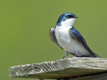 Tree Swallow stock image