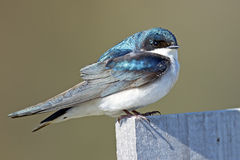 Tree Swallow. A tree swallow standing on a nest box Royalty Free Stock Photo