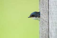 Tree Swallow sticking its head out Stock Image