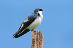 Tree Swallow on a stump Royalty Free Stock Images