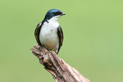 Tree Swallow on a stump Royalty Free Stock Photography