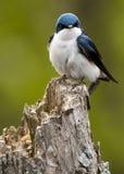 Tree Swallow on stump Stock Photos