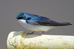 Tree Swallow Royalty Free Stock Photography