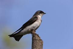 Tree Swallow (Tachycineta bicolor). Female sitting on an broken branch Royalty Free Stock Photography
