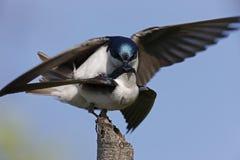 Tree Swallow (Tachycineta bicolor). Pair mating on a broken branch Stock Photos