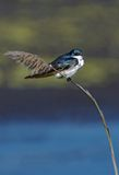 Tree Swallow (Tachycineta bicolor). Tree Swallow perched on a branch stock photos