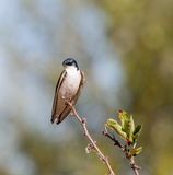 Tree Swallow - Tachycineta bicolor, adult, male Royalty Free Stock Images