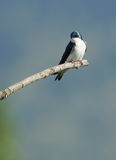 Tree Swallow - Tachycineta bicolor. A beautiful blue adult Tree Swallow taking a break while sitting on a lonely branch Stock Images