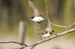 Tree Swallow. (Tachycineta bicolor) flying Royalty Free Stock Photography