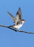 Tree Swallow - Tachycineta bicolor Stock Photography