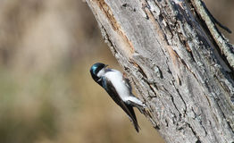 Tree Swallow. (Tachycineta bicolor) perched on the side of a tree Stock Photos