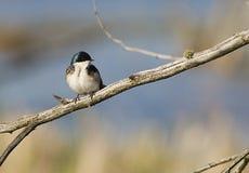 Tree Swallow. (Tachycineta bicolor) sitting on branch Stock Photo