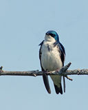 Tree Swallow (tachycineta bicolor) Royalty Free Stock Image