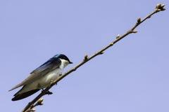 Tree Swallow (tachycineta bicolor) Stock Photo