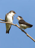 Tree Swallow - Tachycineta bicolor. Two juvenile Tree Swallows perched on a branch having a conversation Stock Photo