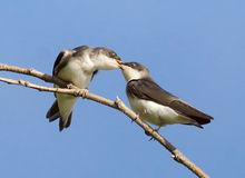 Tree Swallow - Tachycineta bicolor. Two playful juvenile Tree Swallows getting in each others personal space Stock Images