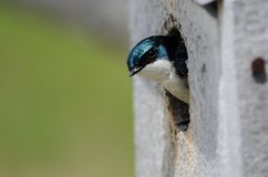 Tree Swallow Taking a Peak from its Weathered Wooden Nesting Box. Curious Little Tree Swallow Taking a Peak from its Weathered Wooden Nesting Box Stock Images
