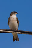 A Tree Swallow on a Wire. A Tree Swallow -Tachycineta bicolor - is perched on an electric wire, enjoying a warn and sunny day. Quebec, Canada stock photo