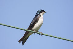 Tree Swallow on a wire Royalty Free Stock Images