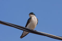 A Tree Swallow on wire close-up. A Tree Swallow -Tachycineta bicolor - is perched on an electric wire by a sunny day. Quebec, Canada stock photo