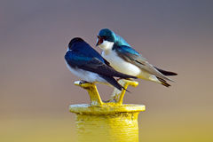 Tree Swallows. A pair of Tree Swallows resting on top of a pole at Bombay Hook National Wildlife Refuge royalty free stock photo