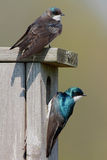 Tree Swallows Stock Photo