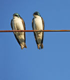 Tree Swallows Royalty Free Stock Photography