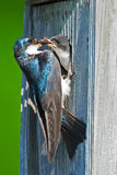 Tree Swallows. Adult tree swallow feeding one of it's babies Stock Image