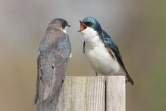 Tree Swallows Bickering Royalty Free Stock Photo