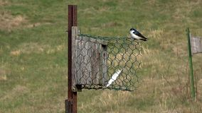 Tree Swallows claiming a nest box stock video