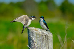 Tree Swallows. Entertain each other as love birds on a fence post in Ontario& x27;s Komoka Provincial Park royalty free stock image