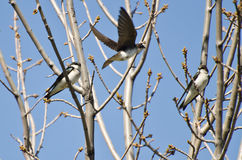 Tree Swallows Landing in a Tree Royalty Free Stock Image