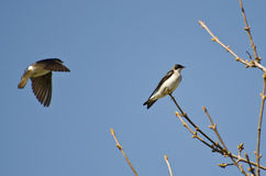 Tree Swallows Landing in a Tree Stock Images