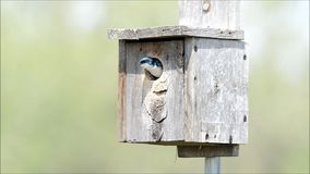 Tree swallows in nesting box stock video footage