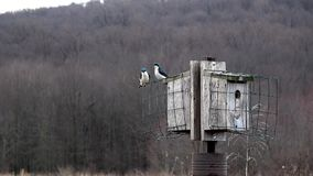 Tree Swallows nesting stock video
