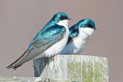 Tree Swallows Stock Photos