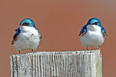 Tree Swallows Royalty Free Stock Images