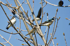Tree Swallows Perched in a Tree Royalty Free Stock Photo